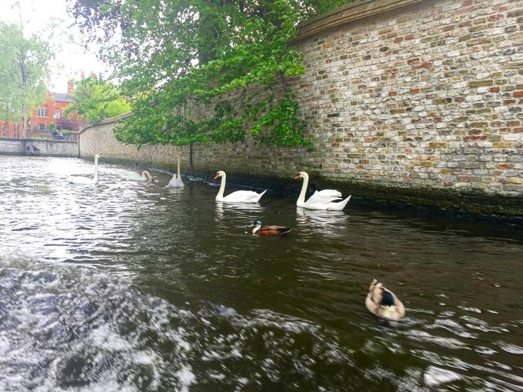Swans in Bruges, Belgium